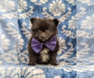 Pomeranian Puppy for sale in BUCK, PA, USA