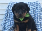 Rottweiler Puppy For Sale in PEACH BOTTOM, PA, USA