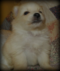 Pomeranian Puppy for sale in STATHAM, GA, USA