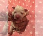 Small #8 Poodle (Toy)-Schnauzer (Miniature) Mix