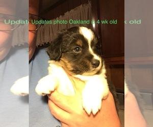 Miniature Australian Shepherd Puppy for sale in MICAVILLE, NC, USA