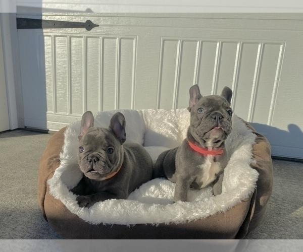 Medium Photo #3 French Bulldog Puppy For Sale in CLACKAMAS, OR, USA