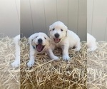 Small #11 English Cream Golden Retriever