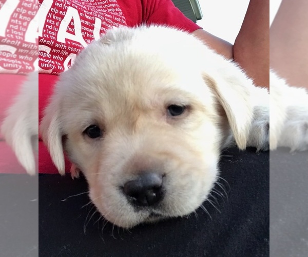 Medium Photo #3 Labrador Retriever Puppy For Sale in WEST JEFFERSON, OH, USA