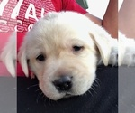Small Photo #3 Labrador Retriever Puppy For Sale in WEST JEFFERSON, OH, USA