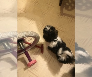 Shih Tzu Puppy for sale in PGH, PA, USA