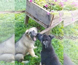 German Shepherd Dog Puppy for sale in CAMARGO, KY, USA