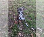 Small #16 Boston Terrier