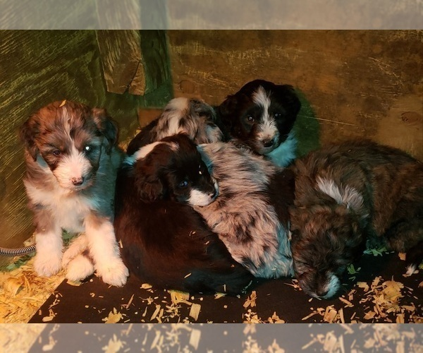 Medium Photo #7 Aussiedoodle Puppy For Sale in DERBY, IA, USA
