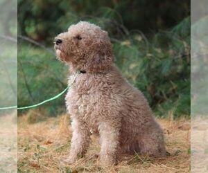 Father of the Goldendoodle-Poodle (Miniature) Mix puppies born on 06/23/2021