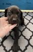 Puppy 5 German Shorthaired Pointer