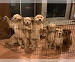 Small Photo #1 Golden Retriever Puppy For Sale in PACE, FL, USA