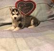 Small #4 Siberian Husky