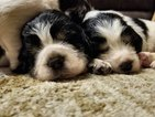 English Springer Spaniel Puppy For Sale in DENNISVILLE, NJ, USA