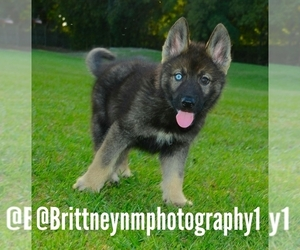 German Shepherd Dog-Siberian Husky Mix Puppy for sale in MULBERRY, FL, USA