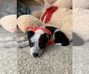 Australian Cattle Dog-Border Collie Mix Dog for Adoption in TACOMA, Washington USA
