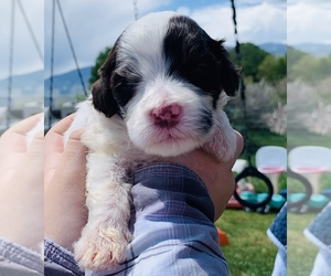 Portuguese Water Dog Puppy for Sale in REXBURG, Idaho USA