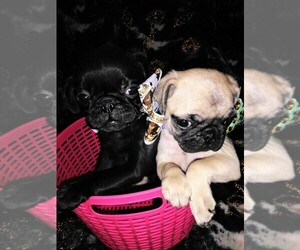 Pug Puppy for Sale in DAYTON, Ohio USA