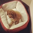 Cavapoo Puppy For Sale in ROCHESTER, NY