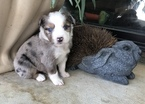 Miniature Australian Shepherd Puppy For Sale in ROCKLIN, CA, USA