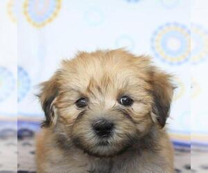 Havanese Puppy for sale in DANVILLE, PA, USA