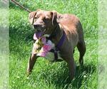 Small #153 Australian Shepherd-Chocolate Labrador retriever Mix