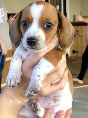 Dachshund Puppy For Sale near 33920, Alva, FL, USA