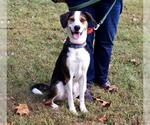 Small #16 Treeing Walker Coonhound