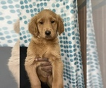 Small #16 Goldendoodle-Poodle (Standard) Mix