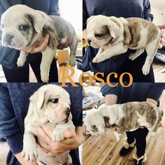 Olde English Bulldogge Puppy For Sale in ASPEN, CO