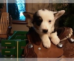 Puppy 1 Pembroke Welsh Corgi
