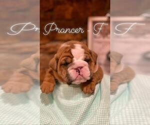 English Bulldog Puppy for Sale in ELDRIDGE, Missouri USA