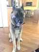 Akita Puppy For Sale in CONYERS, GA, USA