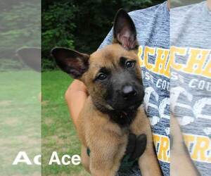 Belgian Malinois Puppy for sale in ARCHBOLD, OH, USA
