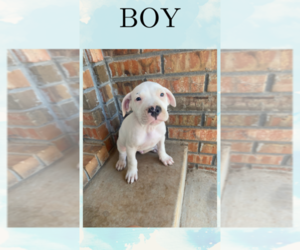 Dogo Argentino Puppy for Sale in LEEDEY, Oklahoma USA