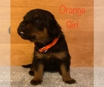 Small Photo #3 Rottweiler Puppy For Sale in NAPA, CA, USA