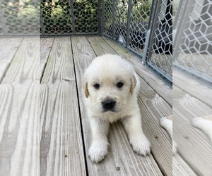 Golden Retriever Puppy for sale in KEYSTONE HEIGHTS, FL, USA