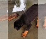 Small #44 Rottweiler