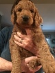 Goldendoodle Puppy For Sale in CRAWFORDSVILLE, Indiana,