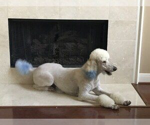 Father of the Poodle (Standard) puppies born on 06/26/2019
