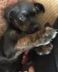 Akita-Rottweiler-American Pit Bull Terrier Mix Puppy For Sale in CUYAHOGA FALLS, OH, USA