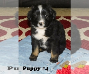 Australian Shepherd Puppy for Sale in PLAINVIEW, Texas USA