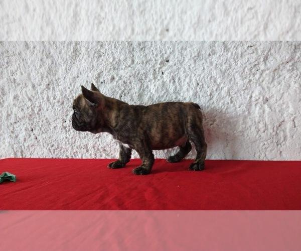 Medium Photo #2 French Bulldog Puppy For Sale in CHULA VISTA, CA, USA
