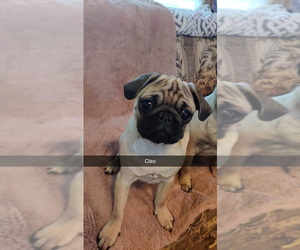 Pug Puppy for sale in HIGH POINT, NC, USA