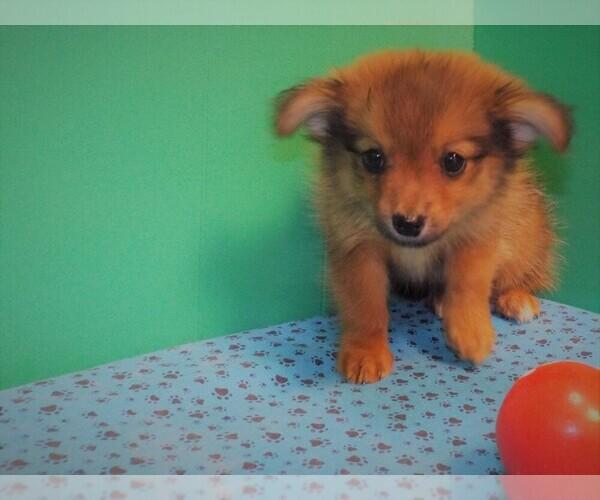 Medium Photo #4 Dameranian Puppy For Sale in PATERSON, NJ, USA