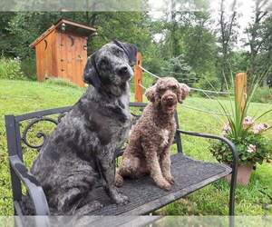Labradoodle Puppy for sale in MILLVILLE, MN, USA