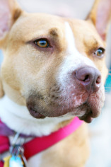Avery - American Pit Bull Terrier / Hound / Mixed (short coat) Dog For Adoption