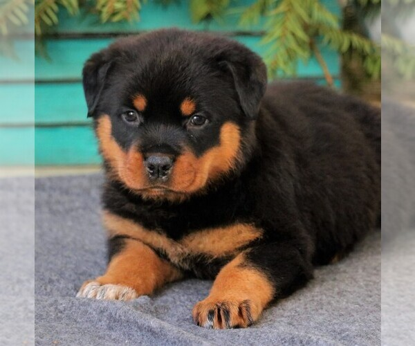 View Ad: Rottweiler Puppy for Sale near Portugal