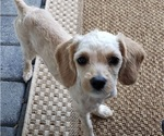 Small #2 Cavalier King Charles Spaniel-Poodle (Standard) Mix