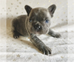 Puppy 6 French Bulldog
